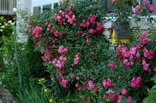 Trellis Carpet by Growing A Flower Carpet 174 Rose As A Climber