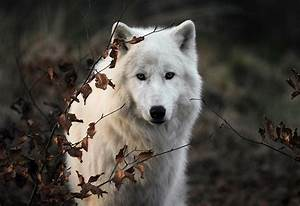Wolf Tumblr Photography | Amazing Wallpapers