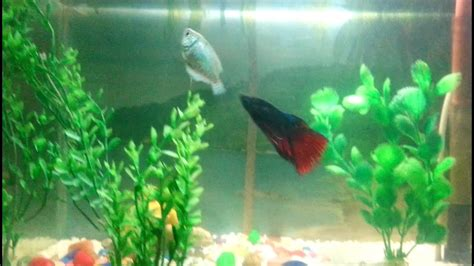 Betta Fish Attacking Dwarf Gourami Youtube