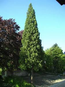 Lebensbaum Wird Braun : riesen lebensbaum ~ Lizthompson.info Haus und Dekorationen