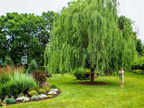 weeping trees weeping willow shade trees for sale the planting tree