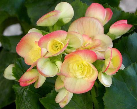 begonia flower flower homes begonia flowers