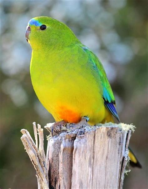 tasmanian birds top endangered species list