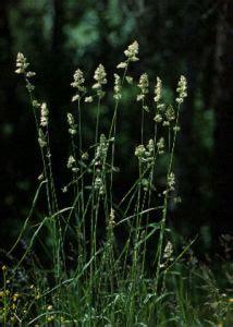 parastā kamolzāle - Dactylis glomerata L. - Augi ...
