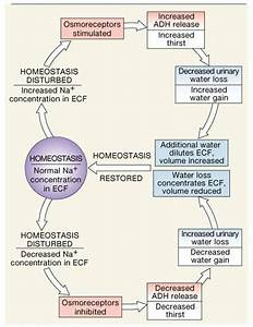 17 Best Images About Endocrine System On Pinterest