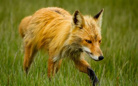 High Definition Animal Wallpapers - the fox high definition animal photography wallpaper