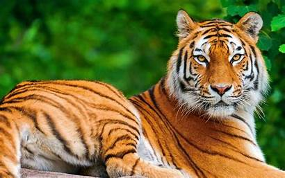 Tigers Thailand Tiger Clear Petting Wallpapers Pet