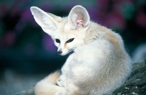The Fennec Fox Very Cute 25 Photos