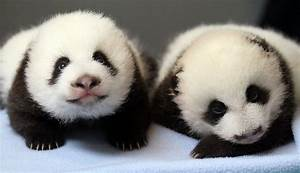 24 Ridiculously Cute Photos Of Baby Pandas That Will ...