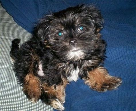 shorkie tzu dog breed information  pictures