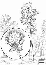 Pine Coloring Tree Pages Loblolly Drawing State Arkansas Longleaf Printable Trees Getdrawings Eastern Leaves Dot Categories sketch template