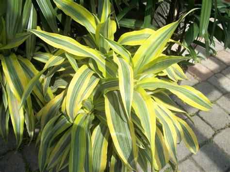 ti plant lemon lime pristine landscapes