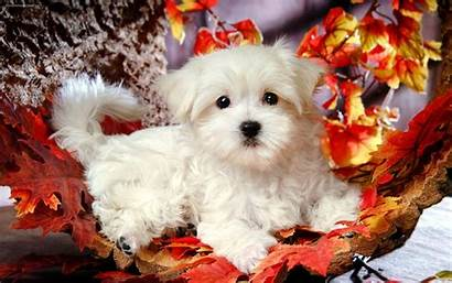 Screensavers Puppy Wallpapers Puppies Backgrounds