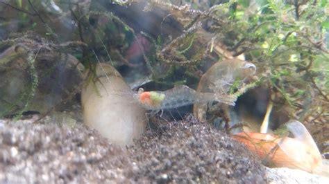 do shrimp shed my pet crayfish shed his exoskeleton mildlyinteresting