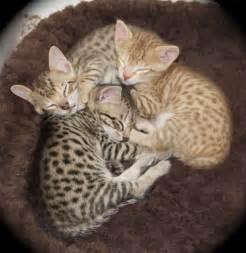 savanah cats kittens f5 sbt agato cats