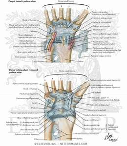 Ligaments Of Volar Aspect Of Wrist With Transverse Carpal