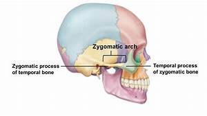 Zygomatic Arch | www.pixshark.com - Images Galleries With ...