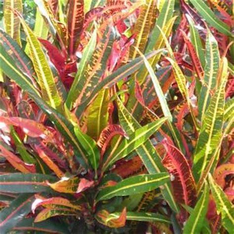 croton codiaeum queensland gardening pages plants