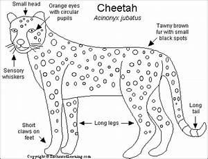 cheetah printout enchantedlearningcom With arctic fox diagram