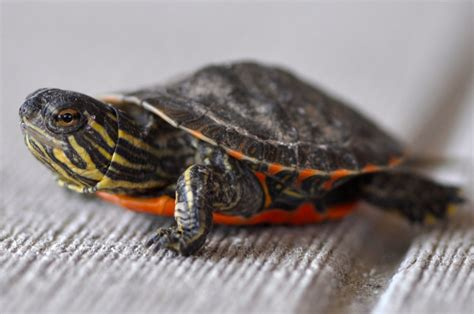 painted turtle interesting facts about the beautifully colored painted turtles