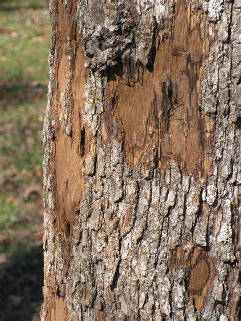 tree diseases images oak tree diseases fungus bing images