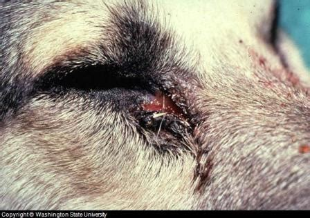 dog eye infection symptoms pictures  treatment advice