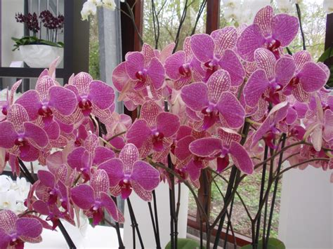 coltivare orchidee in vaso una guida pratica alla coltivazione delle orchidee il