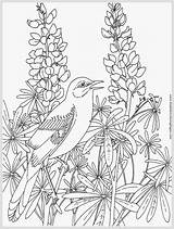 Coloring Robin Pages Adult Bird Printable Robins Realistic Albinos Instinctive Adaptable Partial Slow Makes True Learn Them Very Things Which sketch template
