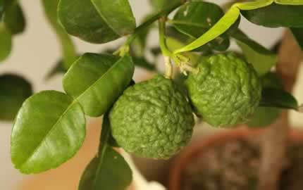citrus trees   uk winter