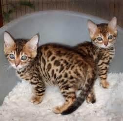 baby bengal cat bengal kittens baby animals