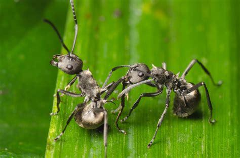 Ameisen Bekämpfen Im Garten & Haus Hausgartenwissende