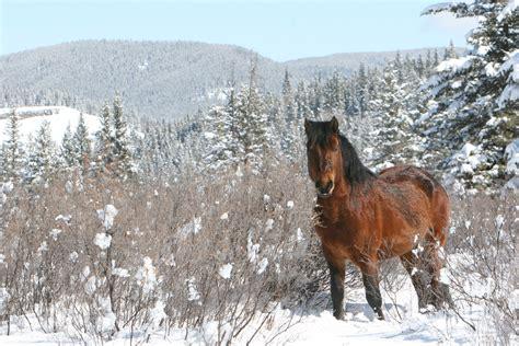 snow horses wild alberta winter most society newsletter december beauty bound