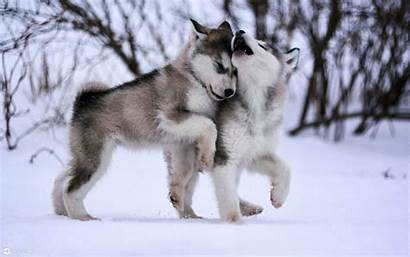 Huskies Desktop Puppies Dogs Alaskan Malamute