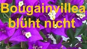 Engelstrompete Blüht Nicht : bougainvillea bl ht nicht mehr drillingsblume bl ht nicht was tun bougainvillea bl hfaul youtube ~ A.2002-acura-tl-radio.info Haus und Dekorationen