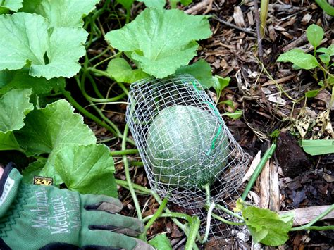 protect plants from squirrels diy how to keep rodents off your melons fruits and veggies