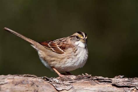 white throated sparrow the audubon birds climate
