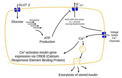 fileglucose insulin releasesvg wikimedia commons