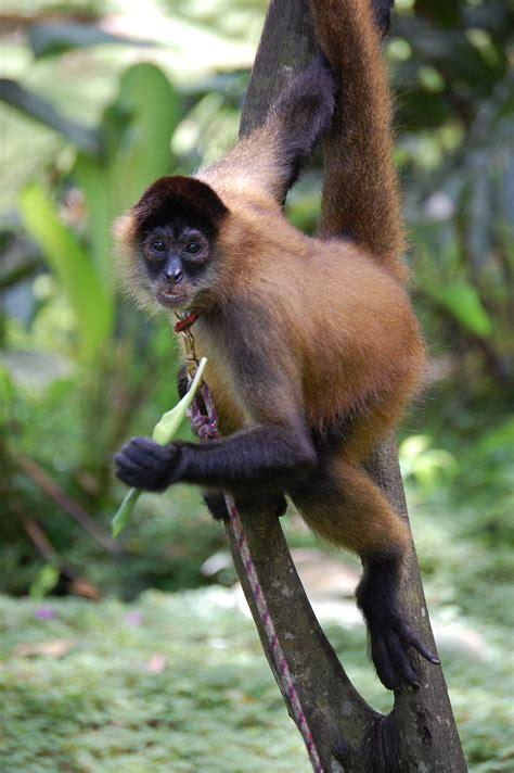 Geoffroy's Spider Monkey Wikipedia