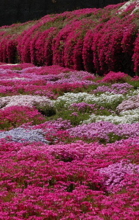 colorful ground cover phlox subulata creeping phlox a lovely low growing
