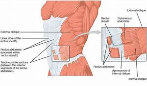 The Anterolateral Abdominal Wall - Muscles
