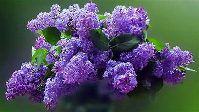 Lilac Desktop Purple Flowers Nexus Shades Nature