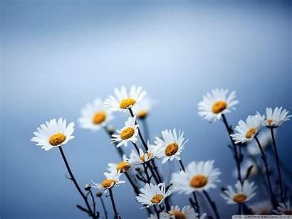 Daisy Daisies Flowers Wallpapers Colors Desktop Flower