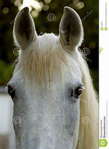 White Arabian Ears stock image. Image of equestrian ...