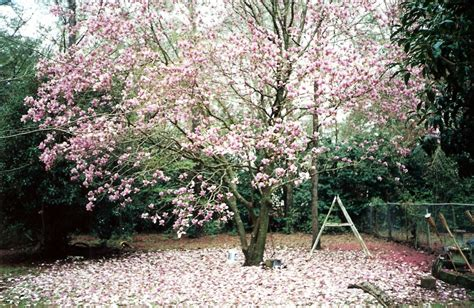 saucer magnolia tree for sale decor japanese magnolia jane magnolia bushes japanese magnolia