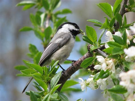 nesting black capped chickadee  nuthatch south burlington vermont   commentary