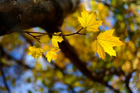 yellow autumn leaves background high quality