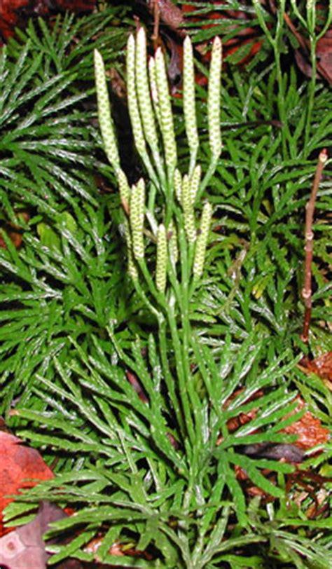 Lycopodium flabelliforme
