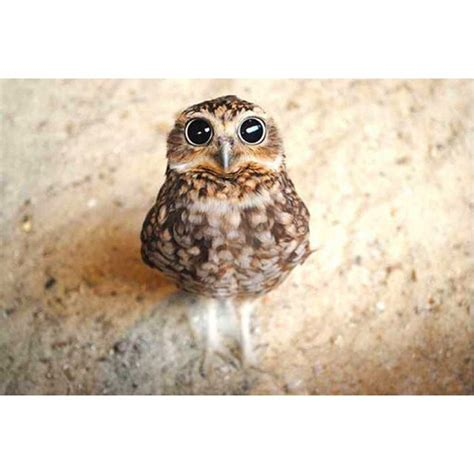 are owls pets owl pet animal love on instagram