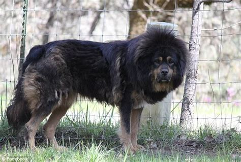 oregon ranchers forced  debark tibetan mastiffs
