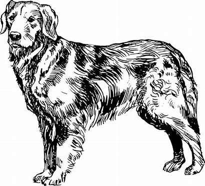 Retriever Golden Dog Clipart Clip Drawing Labrador